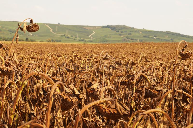 globalne ocieplenie globalne ocieplenie Widok rośliny uszkadzać suszą obrazy royalty free