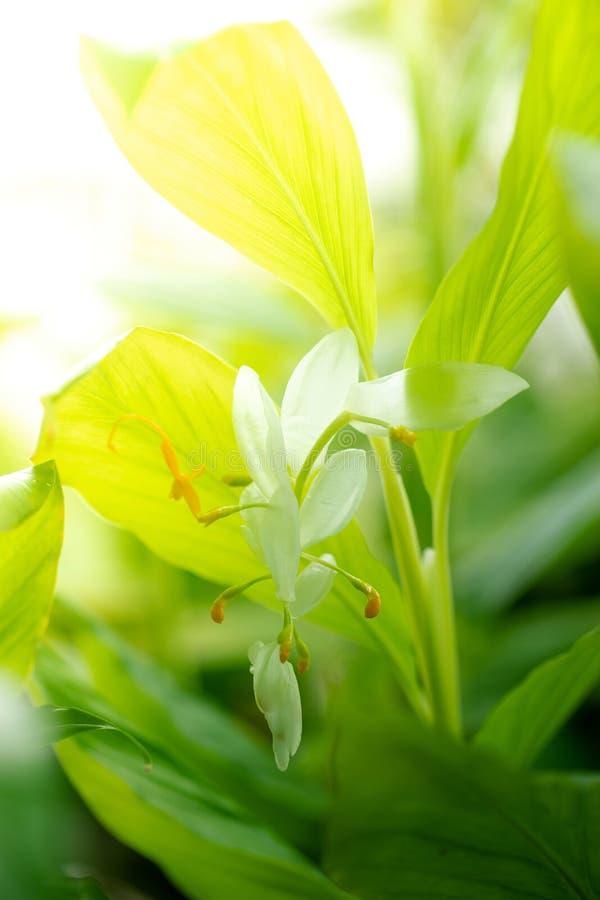 Globba o winitii blanco C de Globba de la flor del dragón H wright imagen de archivo libre de regalías
