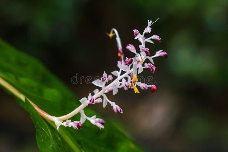 Globba winitii, purpurowy kwiatostan fotografia stock