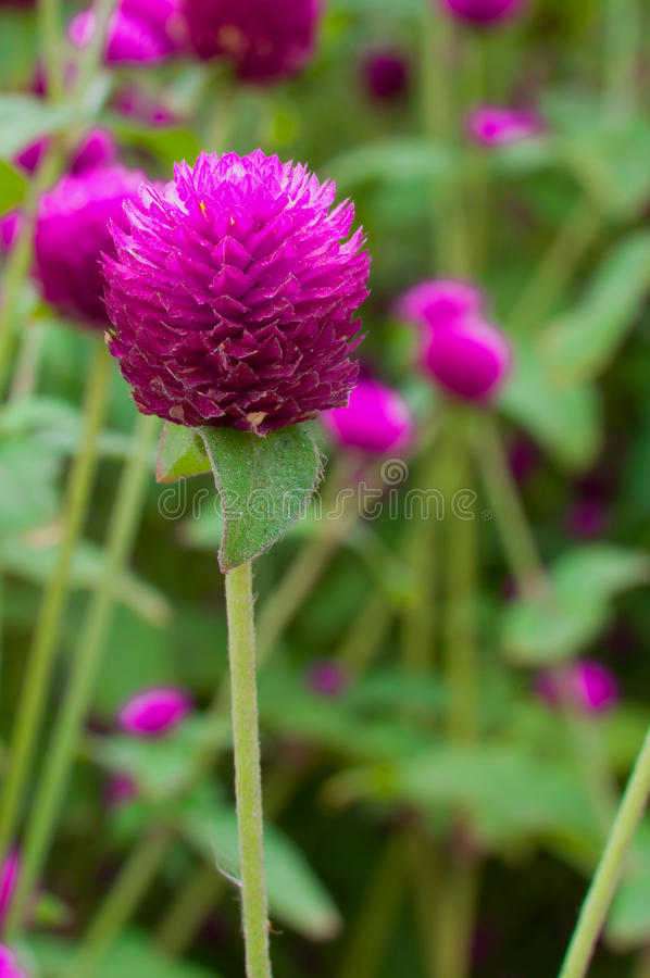 Globe amaranth. Or Gomphrena globosa stock image