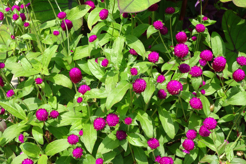 Globe Amaranth. Also known as bachelor button royalty free stock images