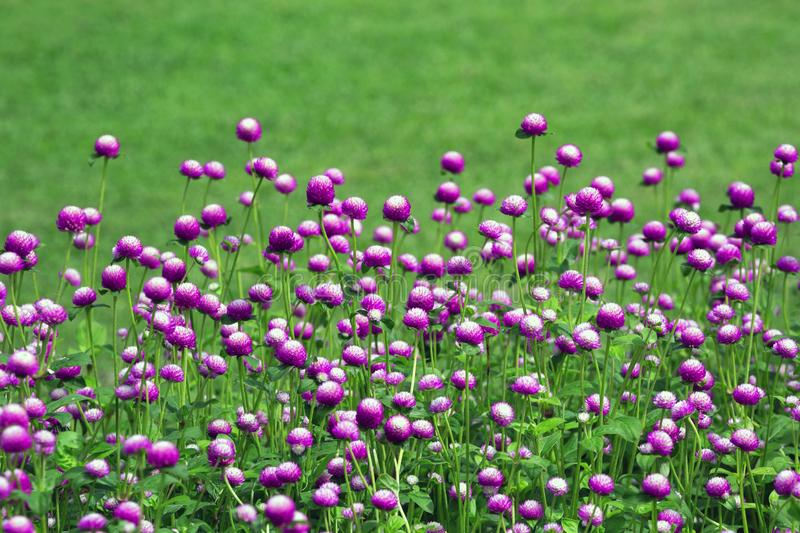 Globe amaranth flower in the garden. royalty free stock image