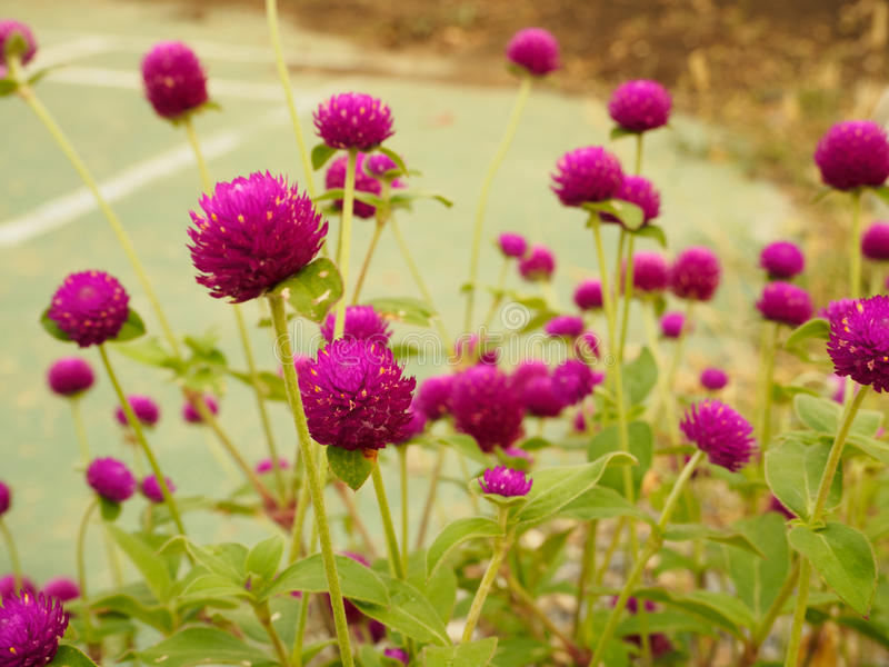 Globe amaranth. On the hill side stock photography