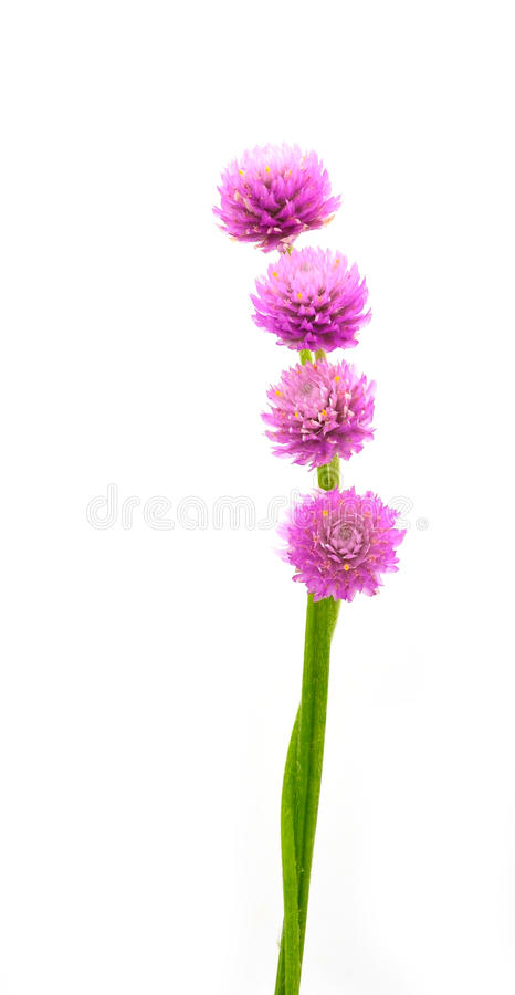 Globe amaranth stock image