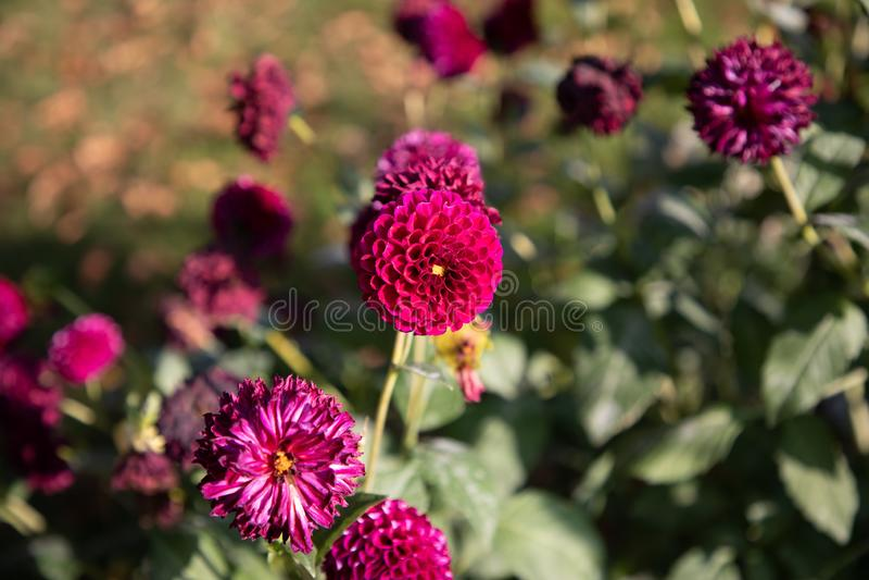 Globe amaranth makhmali and vadamalli Gomphrena globosa royalty free stock photos