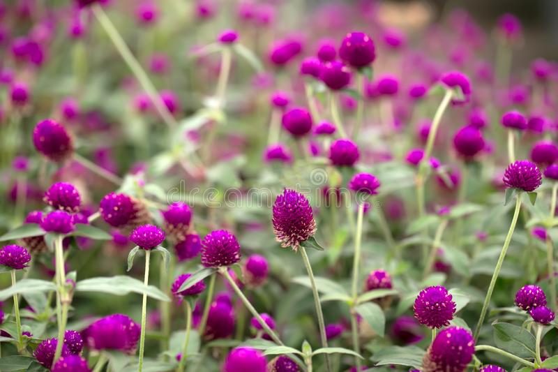 Garden of Globe Amaranth Flower with beautiful natural light. stock photo