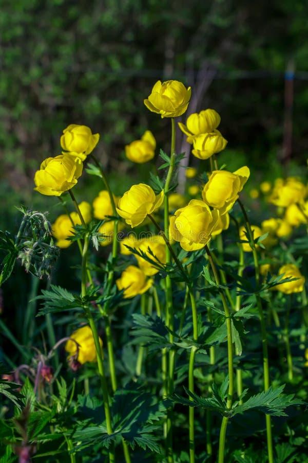 Globe-fleur européenne (lat Llius de ³ de TrÃ) photo stock