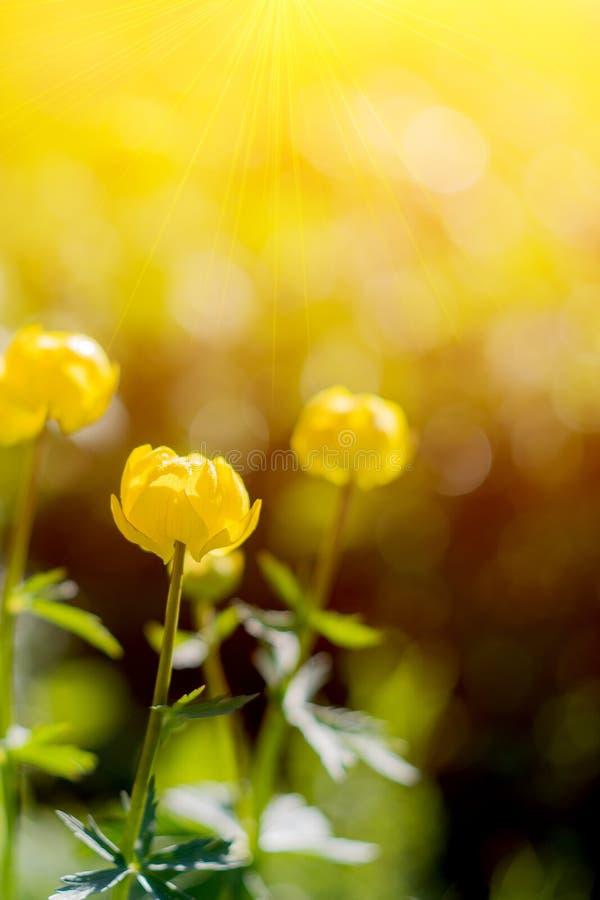 Globe-fleur ou europaeus de Trollius dans le domaine avec le soleil Fleurs jaunes et lumineuses d'un rond dans les poutres du sol photographie stock libre de droits