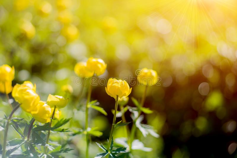 Globe-flower or Trollius europaeus in the field with sunshine . A round yellow and bright flowers in the morning sun beams. royalty free stock image