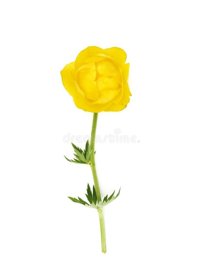 Globe flower (Trollius europaeus) royalty free stock photo