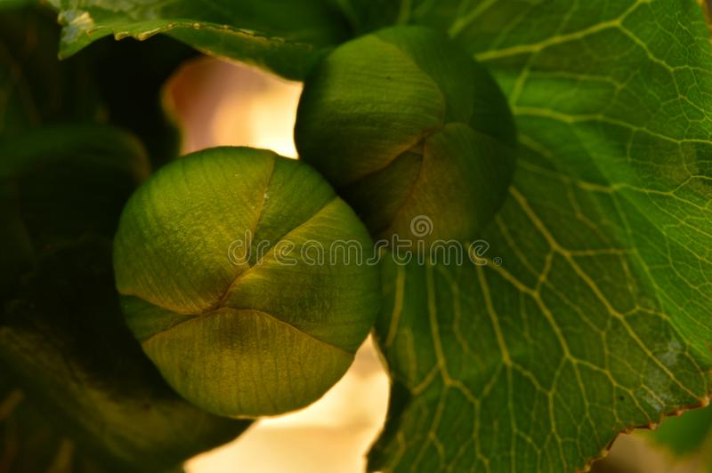 Globe-flower unopened bud of wildflower first spring flowers. Macro nature photography stock images