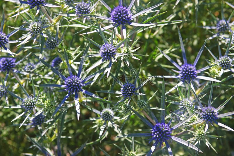 Globe thistle with blue blossoms stock photo