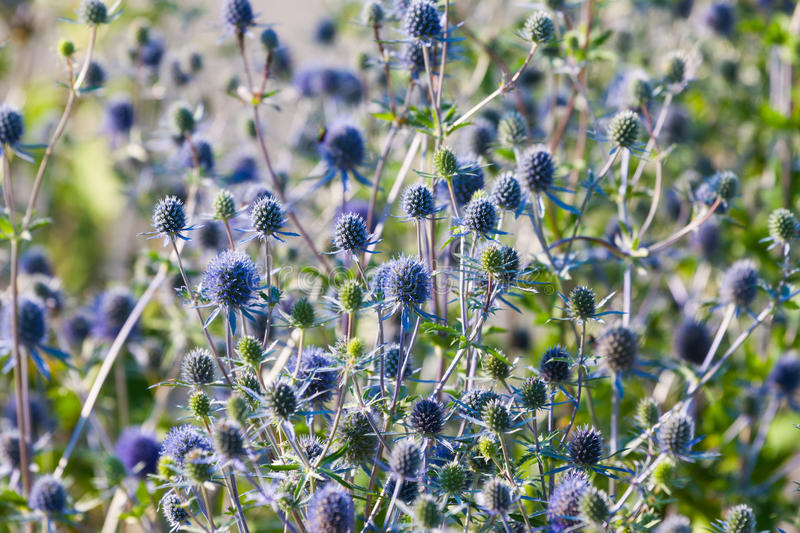 The Globe Thistle, Veitch's Blue (Echinops ritro) royalty free stock images