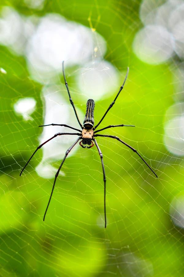 Globe-tisserands d'or généralement appelés, araignées en bois géantes, ou araignées de banane photographie stock libre de droits
