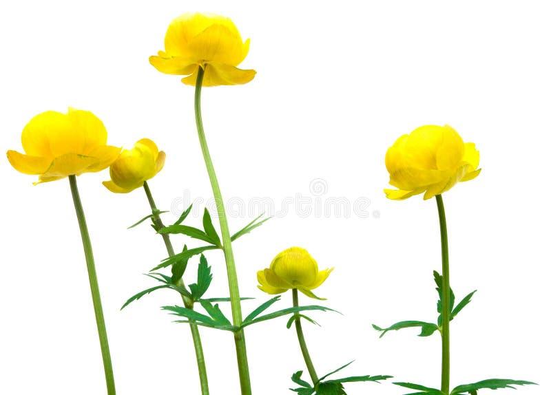 globeflower royaltyfri foto