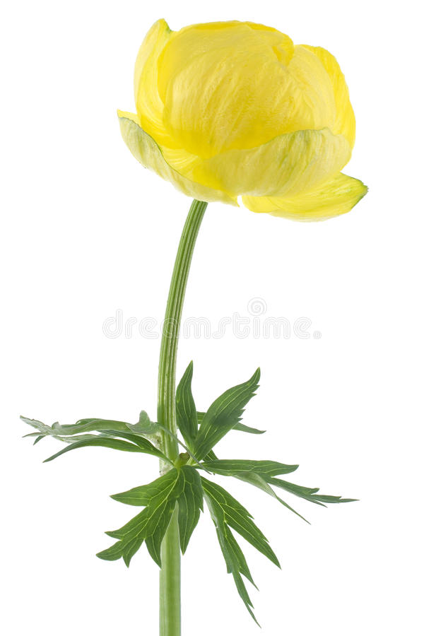globeflower royaltyfri fotografi