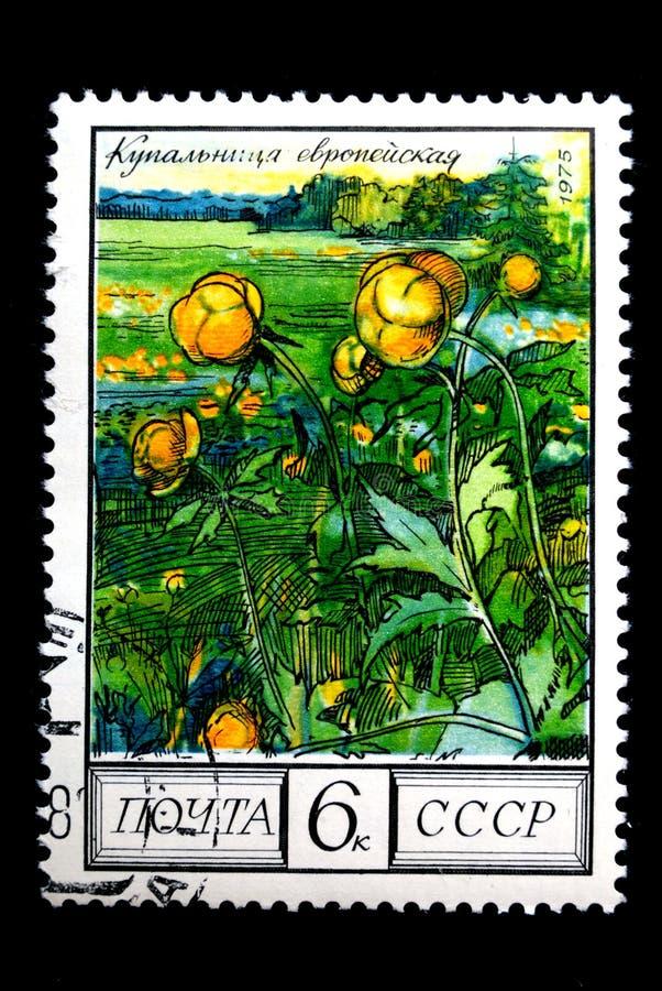 Globeflower fotografia stock