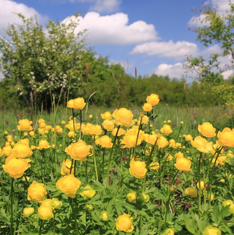 Globeflower fotografering för bildbyråer