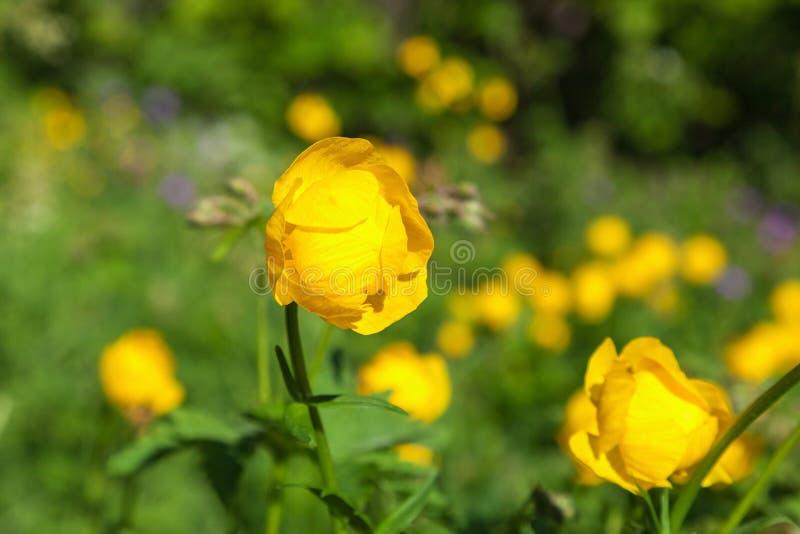 Globeflower images stock