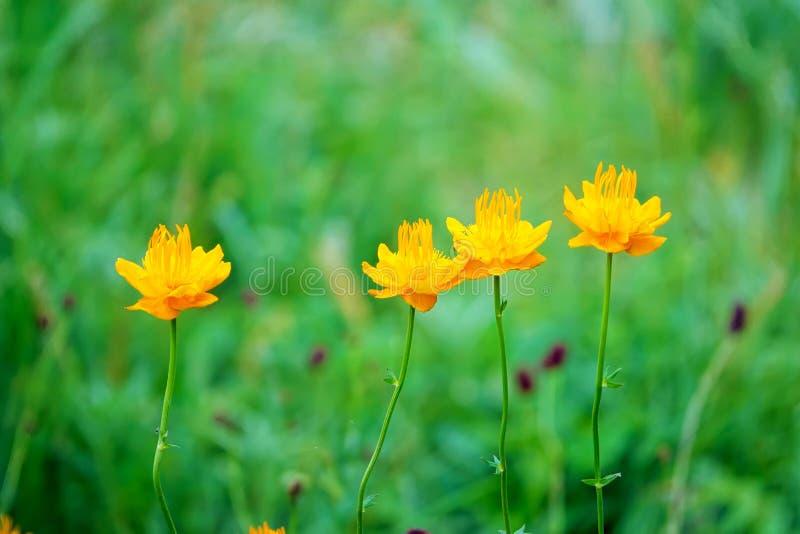 Globeflower royaltyfri bild