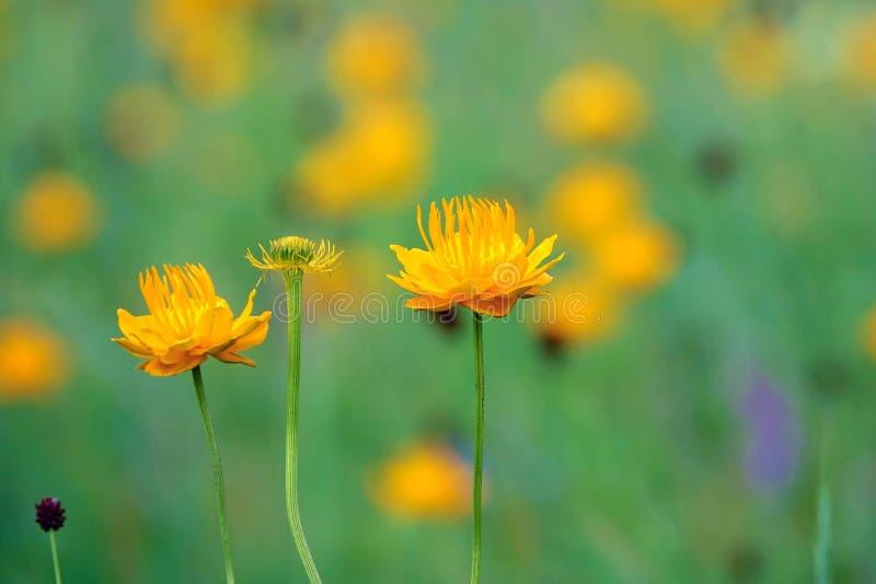 Globeflower royaltyfria bilder