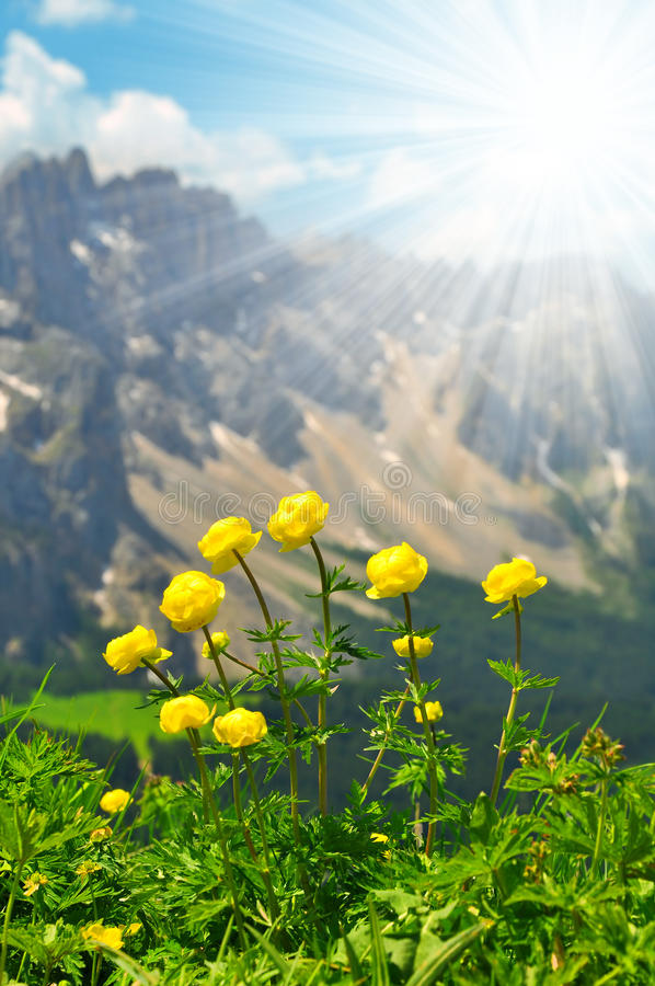 Globeflower blommar på äng arkivbild