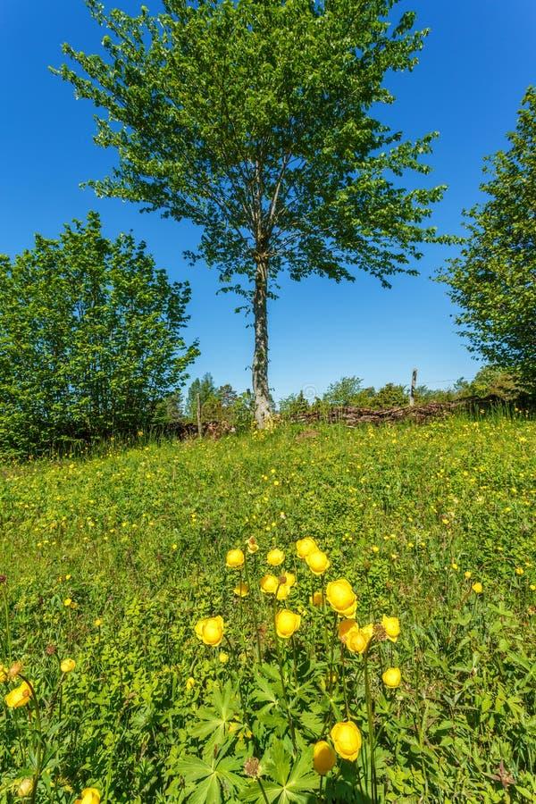 Globeflower op een weide royalty-vrije stock fotografie