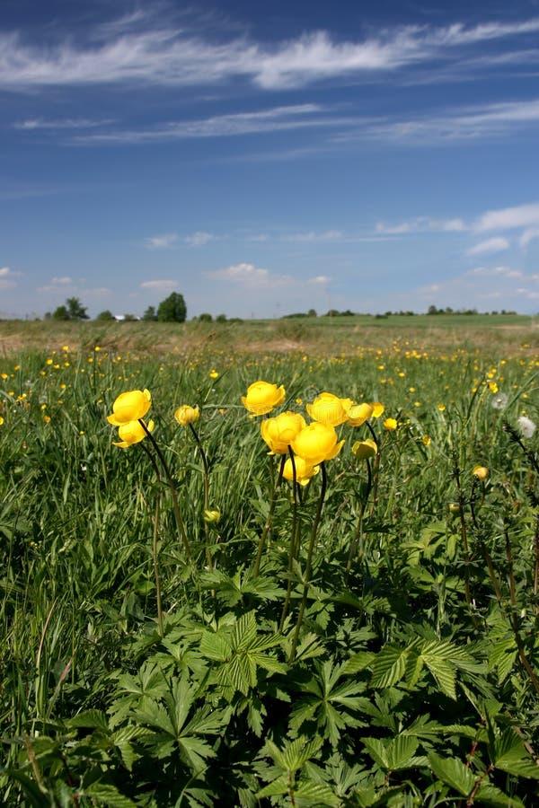 Globeflower in Poland stock images