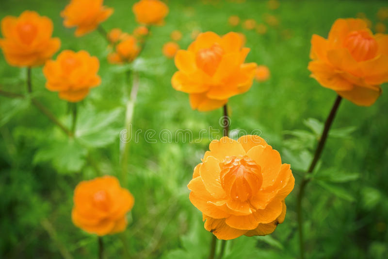 Globeflower sibérien image stock