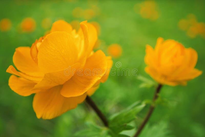 Globeflower sibérien photos stock
