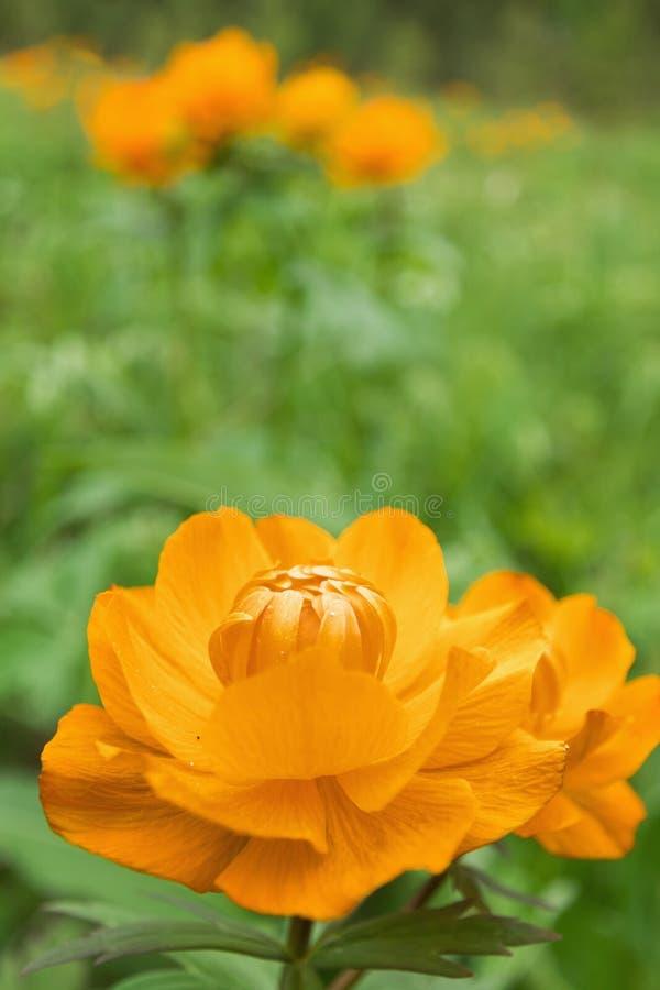 Globeflower sibérien images libres de droits