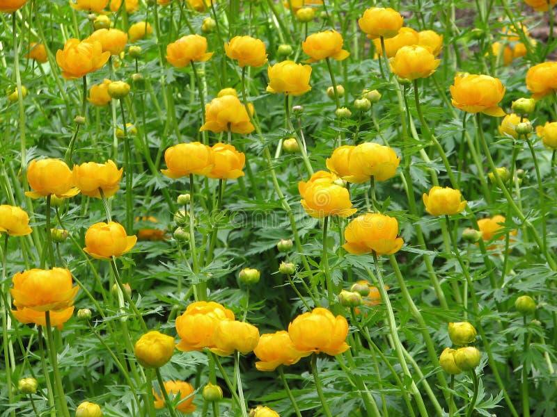 globeflower trollius obrazy royalty free