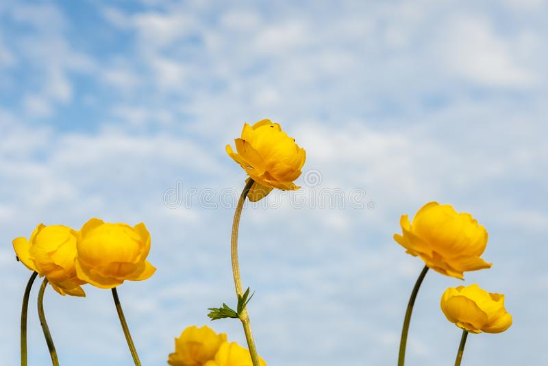 Globeflower, Trollius europaeus zdjęcia stock