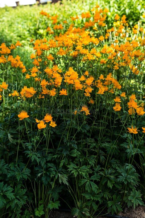 Globeflowers в парке стоковая фотография rf