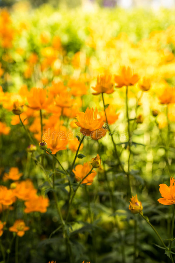 Globeflowers w parku, jaskrawy złoty tło zdjęcia royalty free