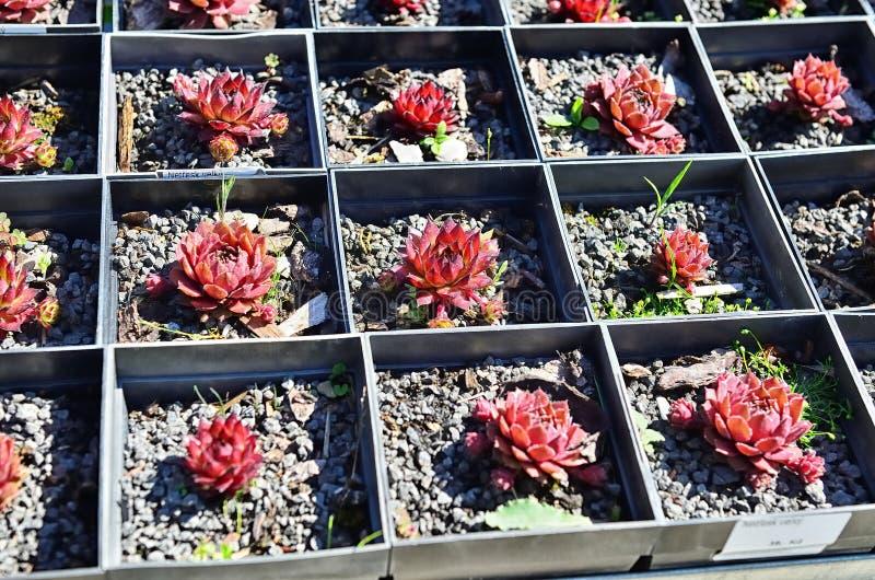 Globiferum de Sempervivum photographie stock libre de droits