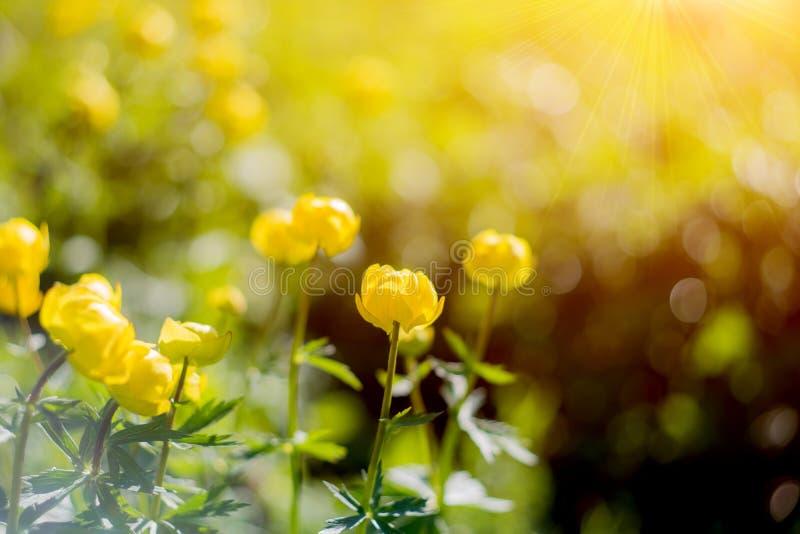 Globo-fiore o europaeus di trollius nel campo con sole Fasci gialli e luminosi di un giro dei fiori di mattina del sole immagine stock libera da diritti