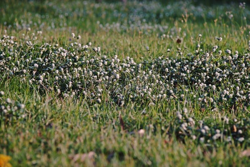 Globo salvaje eterno; una planta pionera cosmopolita de la mala hierba de áreas perturbadas fotografía de archivo libre de regalías