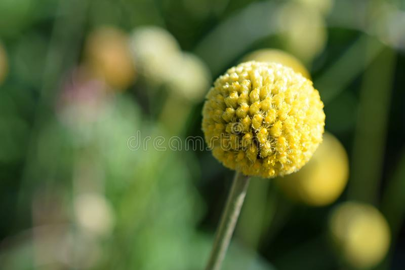Globosa de Craspedia photo stock