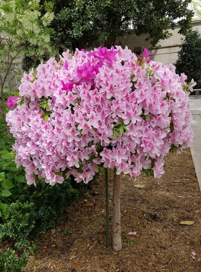 Globular δέντρο λουλουδιών κρίνων στην άνθιση στοκ φωτογραφία με δικαίωμα ελεύθερης χρήσης