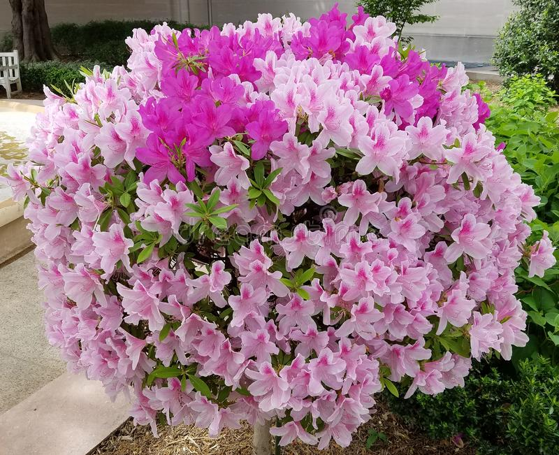 Globular δέντρο λουλουδιών κρίνων στην άνθιση στοκ εικόνες