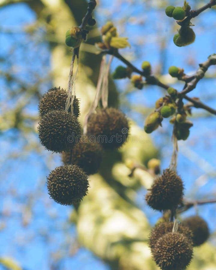 Globular κεφάλια λουλουδιών αεροπλάνων του Λονδίνου - Platanaceae στοκ φωτογραφίες