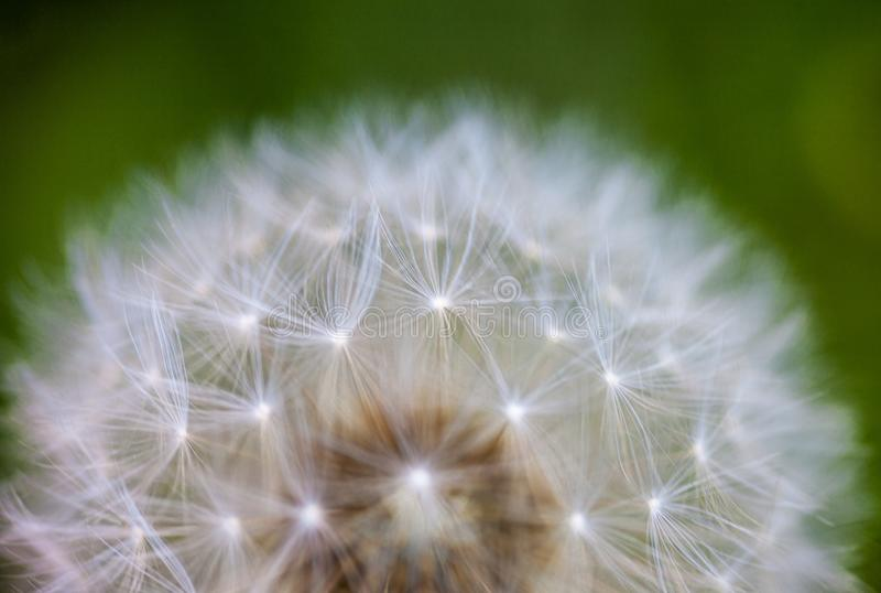 Globular κεφάλι των σπόρων με τις downy τούφες του λουλουδιού πικραλίδων στοκ εικόνες