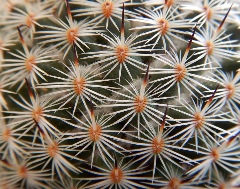 Globular μακροεντολή κάκτων famatimensis Lobivia στοκ εικόνες με δικαίωμα ελεύθερης χρήσης