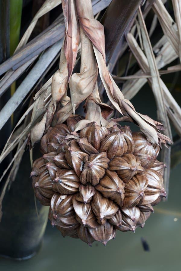 A globular fruit cluster of the nipa palm stock photos