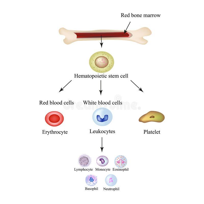 Globules sanguins fictifs dans la moelle Infographie Illustration de vecteur illustration stock