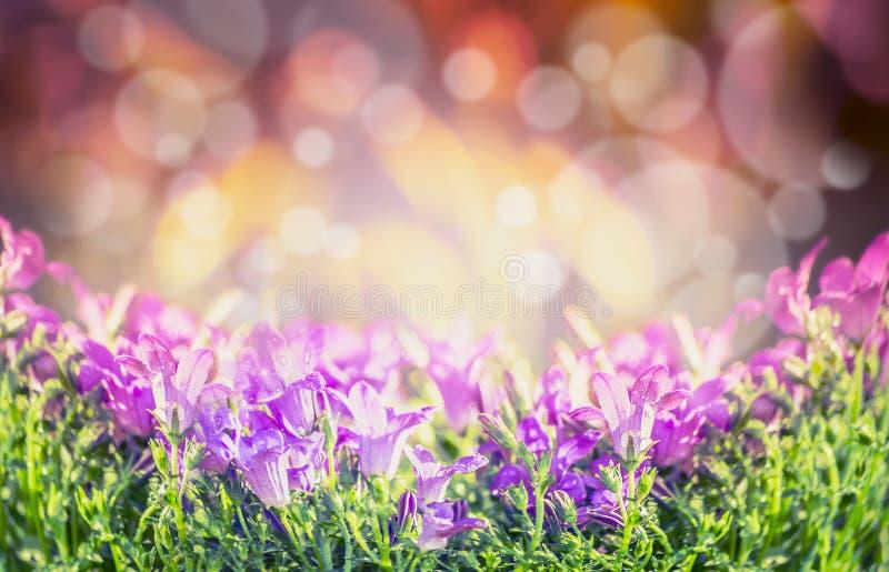 Glockenblume blüht auf unscharfem Naturhintergrund, Fahne lizenzfreie stockbilder