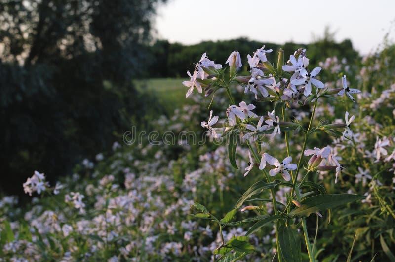 Glockenblume carpatica, Büschelglockenblume oder Karpatenglockenblume Rapido-Blau Plantae-Angiospermen, Asterids Asterales, lizenzfreies stockbild