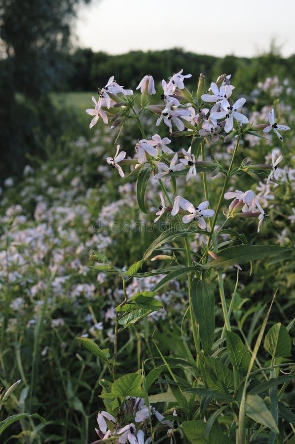 Glockenblume carpatica, Büschelglockenblume oder Karpatenglockenblume Rapido-Blau Plantae-Angiospermen, Asterids Asterales, stockbild