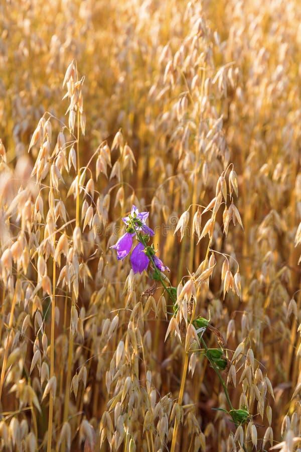Glockenblume in einem Getreidefeld lizenzfreie stockbilder